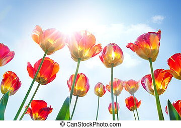 Red and yellow tulips - Spring background with red and...