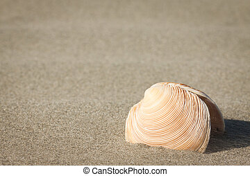 Sea-shell in sand