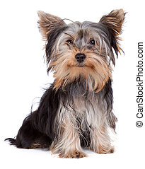 Yorkshire terrier looking at the camera in a head shot,...