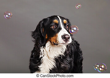 Bernard Sennenhund with Soap Bubbles at Studio - A Bernard...