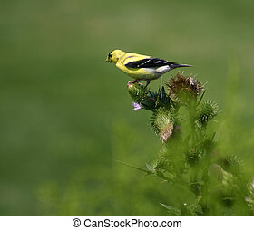 Finch on a thistle
