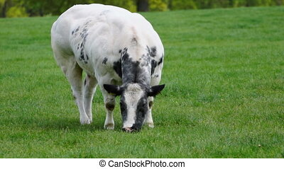 Cow eating grass on a dutch farm