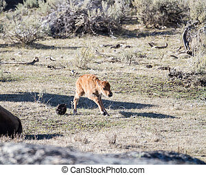 First Steps - Newborn bison calf taking his first steps