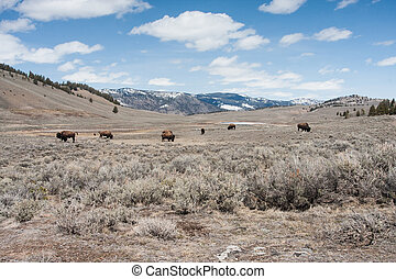 Bisons in a valley early spring