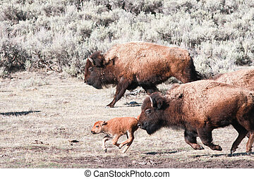 Bisons and Calf - Bisons and calf running, early spring in...
