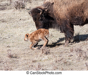 Get up and walk - Mother bison trying to get her newborn to...