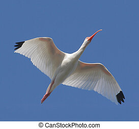 White Ibis Eudocimus albus flying over the Florida...