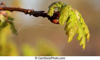 Spring oak leaves after rain