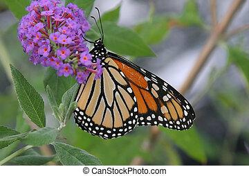 Monarch Butterfly On A Flower - Monarch Butterfly (danaus...