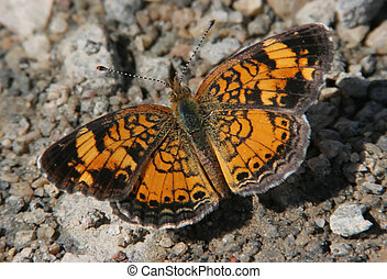 Pearl Crescent Butterfly (Phyciodes tharos) on the ground