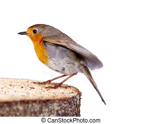 robin (Erithacus rubecola) close up, spring photo