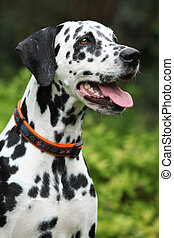 Portrait of beautiful dalmatian bitch on the garden