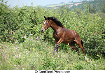 Nice young horse running uphill - Nice young brown horse...