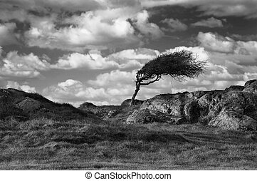 Windswept - A solitary windswept tree on a winter hillside