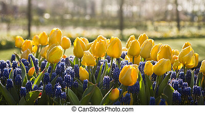 Yellow tulips and blue grape hyacinths in spring - Yellow...