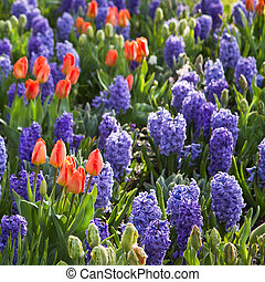 Orange tulips and blue hyacinths in spring