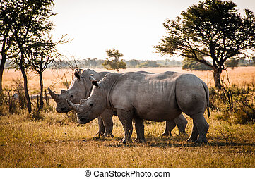 Two Rhinos - Botswana - one of the BIG FIVES