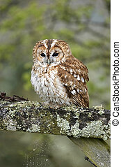 Tawny Owl on Gate - This Tawny Owl, perched on a gate was...