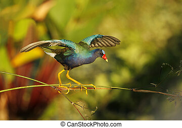 Purple Gallinule walking on Fireflag to reach the tender...