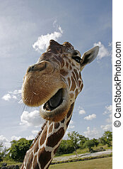 Reticulated Giraffe up close to camera with mouth open and...