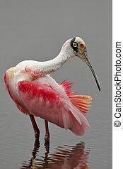 roseate, spoonbill, 繁殖, 鳥類羽毛, 打扮, 北方,...