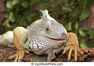 Iguana Portrait - The iguana\\\'s features bear a...