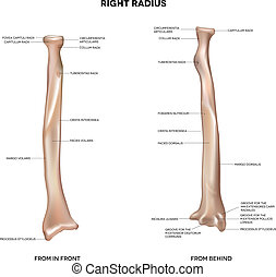 Human right radius, bone - Radius Human right radius, bone...