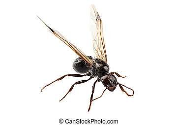 Black Winged garden ant species niger lasius in high...