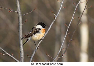 Stonechat - stonechat Saxicola rubicola male sits on a...