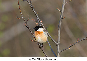 Stonechat - stonechat (Saxicola rubicola) male sits on a...