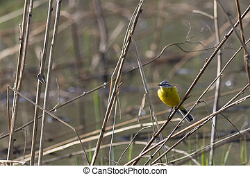 Yellow wagtail - Yellow (Wagtail Motacilla flava) sitting on...