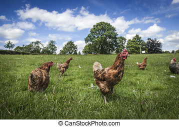 Free Range Chickens - Free range chickens roaming in a...