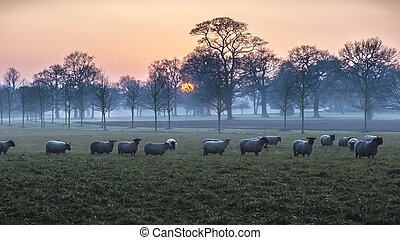 Sheep At Dusk - A flock of sheep grazing in a field at dusk.