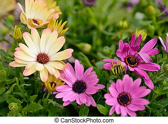 Osteospermum flowers - Flower bloom of purple and yellow...