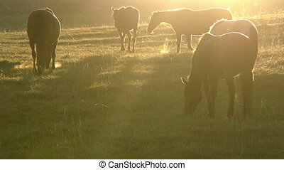 Morning Pasture - Herd of horses grazing in a pasture in the...