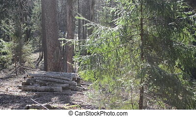 fir tree forest logs