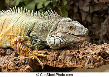 Common Green Iguanas - Iguana are excellent swimmers and...