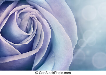rosa, macro