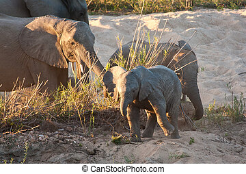 Herd of elephant play next to river in sand calve