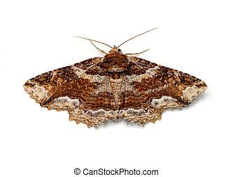 Moth - Lunate Zale Moth (Zale lunata) on a white background