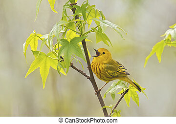 Yellow Warbler Singing - Yellow Warbler (Dendroica petechia...
