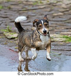 Dynamic Mixed-Breed Dog - A mixed breed dog jumps very...