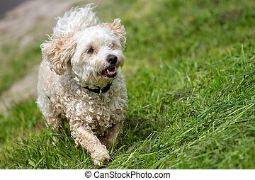 Wet mixed breed dog - A wet Breed Dog Havanese - Poodle mix,...