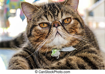 Tabby Cat - Photo of an adorable young Tabby Cat laying down