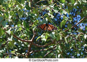 Monarch Butterfly - Wings spread