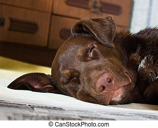 Dog sleeping with the newspaper - The thoroughbred dog has...