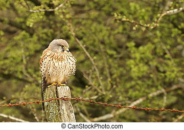 Bird of Prey - A Kestrel, photographed on farmland in Wales,...