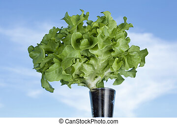 Lettuce with blue sky