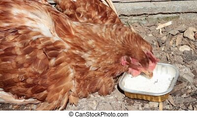 Poultry disease - ill hen pecking rice