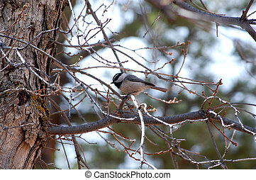 Mountain Chickadee (Poecile gambeli) Pikes Peak Region...